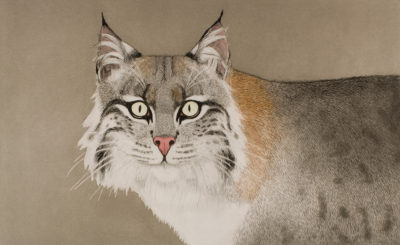 Beth Van Hoesen (American, 1926-2010), Bobcat, 1984, color aquatint, etching, and drypoint with roulette, hand colored with watercolor on textured white wove paper, Gift of the E. Mark Adams and Beth Van Hoesen Adams Trust, © Beth Van Hoesen