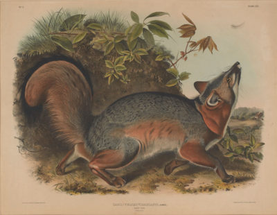 John James Audubon; John T. Bowen; Grey Fox, 1845